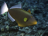 Pinktail Durgon or Pinktail Triggerfish (Melichthys Vidua) Can Reach About One Foot in Length Photographic Print by David Fleetham