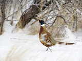 Rooster Ring-Necked Pheasant (Phasianus Colchicus), Montana, USA Photographic Print by Neal Mischler