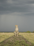 Cheetah (Acinonyx Jubatus) Sitting on Mound in the Masai Mara Game Reserve, Kenya Photographic Print by Joe McDonald