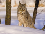 Eurasian Lynx (Lynx Lynx) Sitting in the Snow Photographic Print by Jack Milchanowski