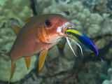 Hawaiian Cleaner Wrasse (Labroides Phthirophagus) Cleaning a Yellowfin Goatfish Photographic Print by Marty Snyderman