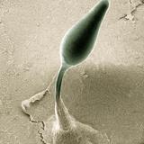 Cellular Slime Mold (Dictyostelium Discoideum) Rising on a Slender Stalk Reprodukcja zdjęcia autor Richard Kessel