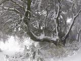 Coast Live Oak (Quercus Agrifolia) in Winter on Palomar Mountain, California, USA Photographic Print by Michael Johnson