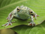 Tree Frog (Hypsiboas Rufitelus), Costa Rica Photographic Print by Thomas Marent