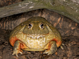 African Bullfrog (Pyxicephalus Adspersus), Captive Photographic Print by Michael Kern