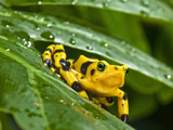 Golden Frog (Atelopus Zeteki) Perched on a Leaf, Captivity Photographic Print by Joe McDonald