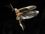 Eastern Firefly Flying (Photinus Pyralis), USA Photographic Print by Terry Priest