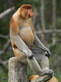 Proboscis Monkey Male Sitting, with an Erect Penis (Nasalis Larvatus), Sabah, Borneo, Malaysia Photographic Print by Thomas Marent