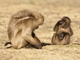 Gelada Adult with Young (Theropithecus Gelada), Simien Mountains National Park, Ethiopia Photographic Print by Mary Ann McDonald