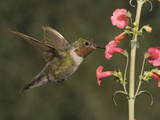 Broad-Tailed Hummingbird Male (Selasphorus Platycercus) Photographic Print by Charles Melton