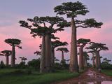 Grandidier´S Baobab (Adansonia Grandidieri), Near Morondava, Madagascar Fotodruck von Thomas Marent