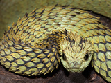 Hairy Bush Viper (Atheris Hispida), Captive Photographic Print by Michael Kern