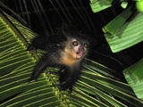 Aye-Aye (Daubentonia Madagascariensis), Mananara, Eastern Madagascar Photographic Print by Thomas Marent