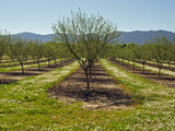 Hazelnut Orchard (Corylus) in the Spring, Southwest Oregon, USA Photographic Print by Robert & Jean Pollock