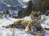 Siberian Tiger (Panthera Tigris Altaica) in Captivity Photographic Print by Joe McDonald