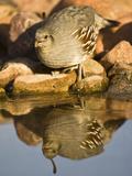 Gambel's Quail at a Desert Waterhole (Callipepla Gambelii), Southwestern USA Photographie par Joe McDonald