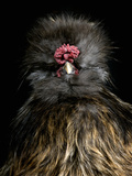 Silkie Chicken (Gallus Domesticus), Captive Photographic Print by Michael Kern