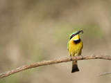 Little Bee Eater (Merops Pusillus) with Insect in its Bill, Masai Mara, Kenya Photographic Print by Mary Ann McDonald
