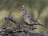 Scaled Quail, Callippepla Squamata, Southwestern USA Photographic Print by Charles Melton
