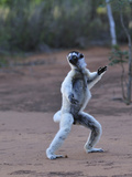 Verreaux's Sifaka Jumping Locomotion (Propithecus Verreauxi), Berenty Private Reserve, Madagascar Photographic Print by Thomas Marent