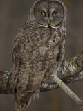 Great Gray Owl, Strix Nebulosa, North America Photographic Print by Joe McDonald