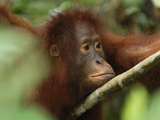 Borneo Orangutan Face (Pongo Pygmaeus), Camp Leaky, Tanjung Puting National Park, Kalimantan Photographic Print by Thomas Marent