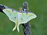 Male Luna Moth (Actias Luna), Florida, USA Photographic Print by Leroy Simon