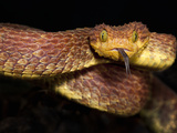 Variable Bush Viper (Atheris Squamigera), Captive Photographic Print by Michael Kern