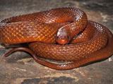 Mangrove Salt Marsh Snake (Nerodia Clarkii Compressicauda), Captive Photographic Print by Michael Kern