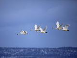 Tundra Swans in Flight, Cygnus Columbianus, Klamath Basin, Klamath Falls, Oregon Photographic Print by Adam Jones