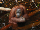 Borneo Orangutan Female Sitting in Water (Pongo Pygmaeus) Kalimantan Photographic Print by Thomas Marent