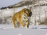 A Siberian Tiger (Panthera Tigris Altaica) an Endangered Species Photographic Print by Joe McDonald