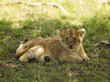 Lion (Panthera Leo) Cub, Masai Mara Game Reserve, Kenya, Africa Photographic Print by Joe McDonald