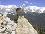 Gray Jay (Perisoreus Canadensis) Photographie par Steve Maslowski