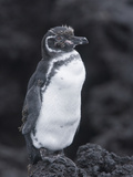 Galapagos Penguin Perched on Black Lava Rocks Photographic Print by Arthur Morris