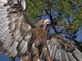 Red-Tailed Hawk (Buteo Jamaicensis), Captive Photographic Print by Michael Kern