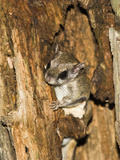 Northern Flying Squirrel in a Tree Hole (Glaucomys Sabrinus), North America Photographic Print by Joe McDonald