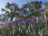Southern Montane Grape Lupine (Lupinus Excubitus Austromontanum) Photographic Print by Michael Johnson