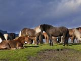 Icelandic Horses, Iceland Photographic Print by Adam Jones