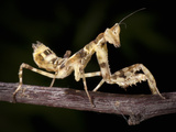 Indian Flower Mantis (Creobroter Elongata Gemmatus), Captive Photographic Print by Michael Kern