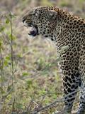 African Leopard Snarling, Panthera Pardus, Masai Mara Gr, Kenya, Africa Photographic Print by Joe McDonald