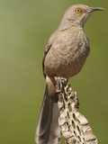 Curve-Billed Thrasher (Toxostoma Curvirostre), Arizona, USA Photographic Print by Mary Ann McDonald