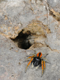 A Male Jumping Spider (Philaeus Chrysops) Defending its Partner Which Escaped into a Hole, Italy Photographic Print by Fabio Pupin