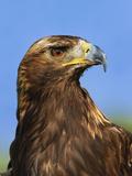 Golden Eagle Portrait, Captive, Aquila Chrysaetos Photographic Print by Adam Jones