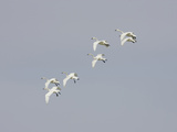 Tundra Swan (Olor Columbianus), Montana, USA Photographic Print by Neal Mischler