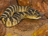Black-Tailed Rattlesnake (Crotalus Molossus) Photographic Print by Jack Milchanowski