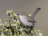 Bewick's Wren (Thryomanes Bewickii) Perched Photographic Print by Steve Maslowski