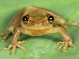 Snouted Tree Frog (Scinax), San Cipriano Reserve, Cauca, Colombia Photographic Print by Thomas Marent