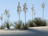 White Sands National Monument, Near Alamagordo Consists of White Gypsum (Selenite) Sand Dunes Photographic Print by Louise Murray