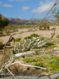 A Male Chameleon (Chamaeleo Monachus), Socotra, Yemen Photographic Print by Fabio Pupin